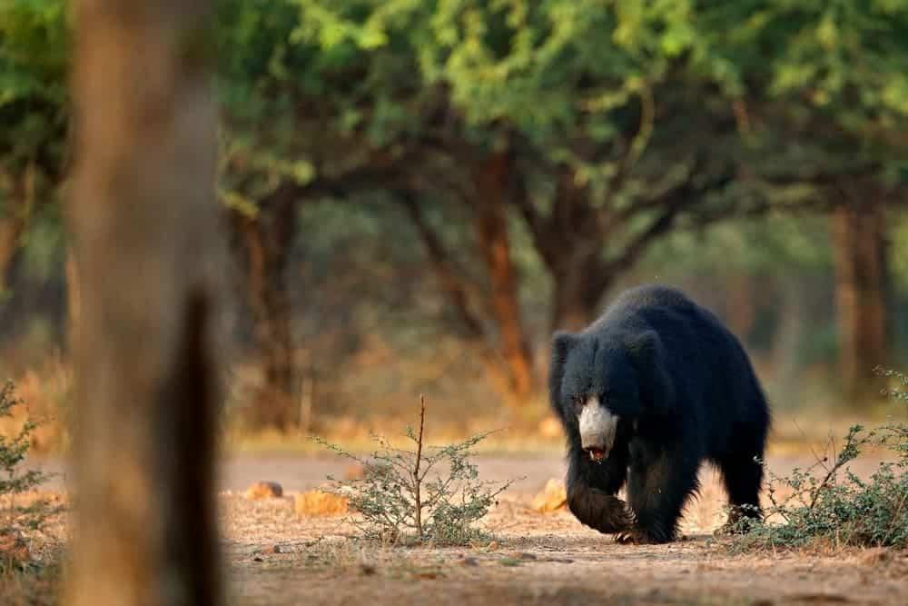Bears In India